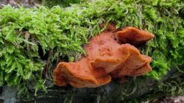 Pycnoporus cf cinnabarinus