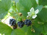 s:мелкие кустарники,i:многолетние,ягоды съедобные,ягоды черные,c:белые,h:до 150 см,d:в лесах,d:по берегам рек и ручьев,f:костянка,c:крупные,ягоды съедобные