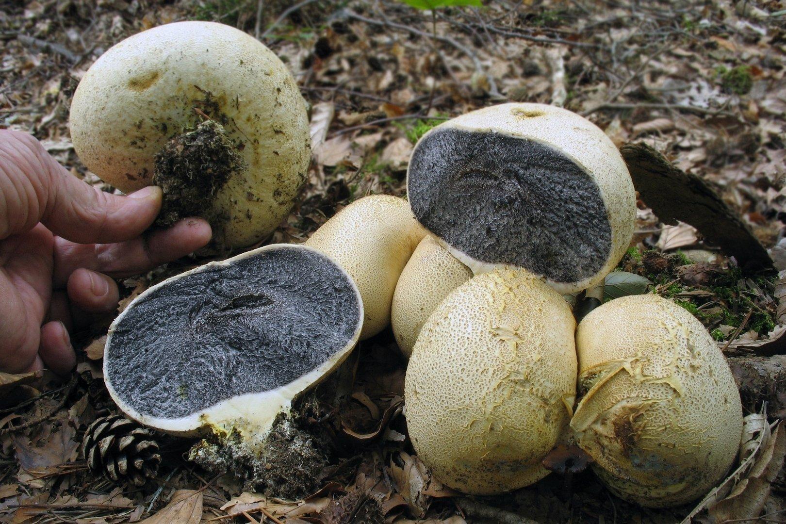 Ложнодождевик обыкновенный (Scleroderma citrinum) Автор фото: Валерий Афанасьев