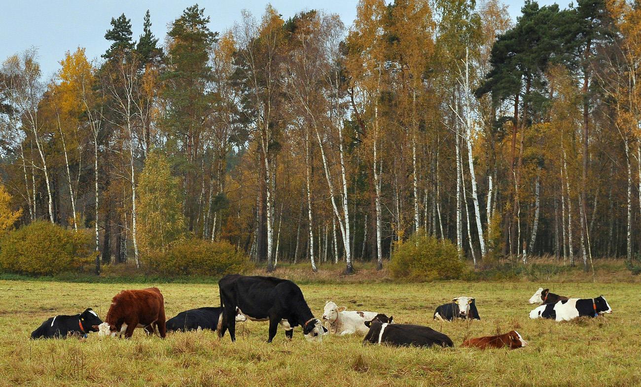 Коровы на привале. Автор фото: Валерий Афанасьев