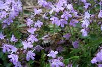 Тимьян ползучий (Thymus serpyllum)