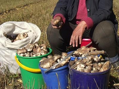 На Алтае эти грибы называют &quote;Тополёвки&quote; или &quote;Подтопольники&quote;. Их собирают в больших количествах, тщательно отмывают прилипший песок, отваривают и солят, как обычно, &quote;горячим засолом&quote;. Прекрасная закуска на всю зиму. Автор фото: Валерий Афанасьев