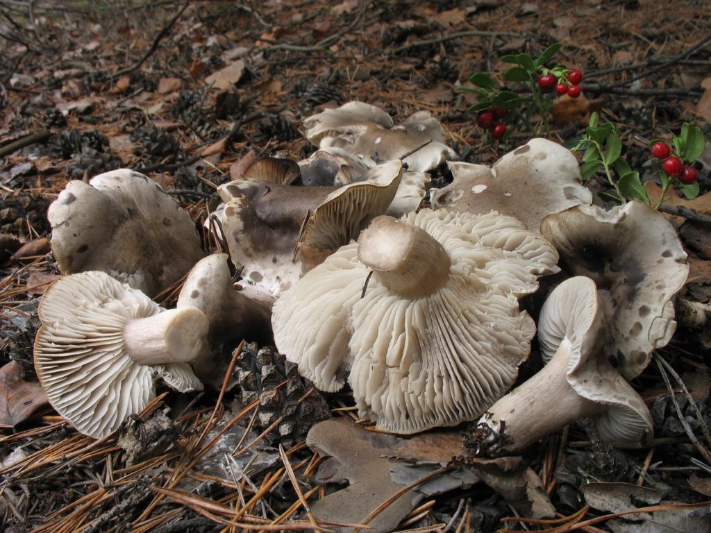 Tricholoma saponaceum. Автор фото:Валерий Афанасьев