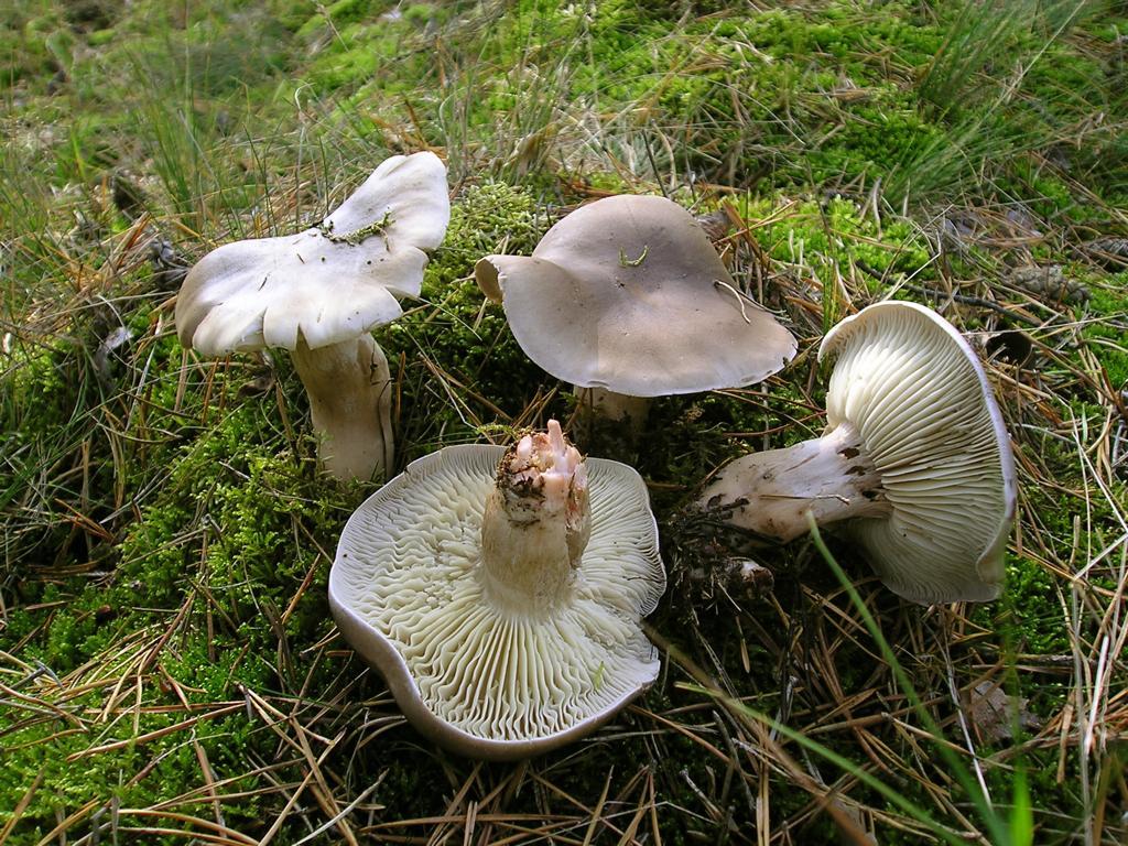 Tricholoma saponaceum. Автор фото: Валерий Афанасьев