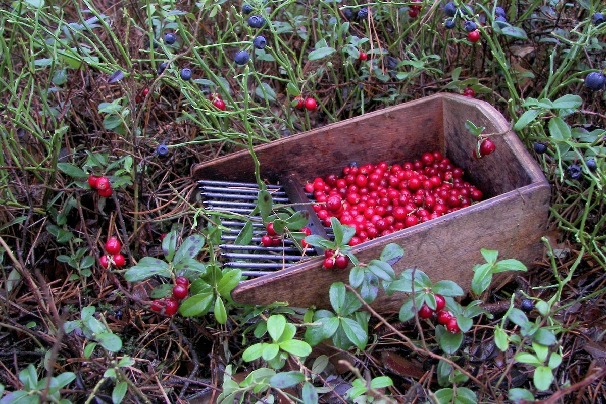Брусника обыкновенная (Vaccinium vitis-idaea) Автор фото: Валерий Афанасьев