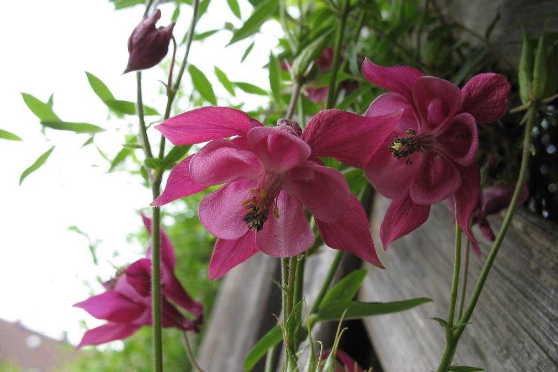 Водосборы (Aquilegia vulgaris). Автор фото: Валерий Афанасьев