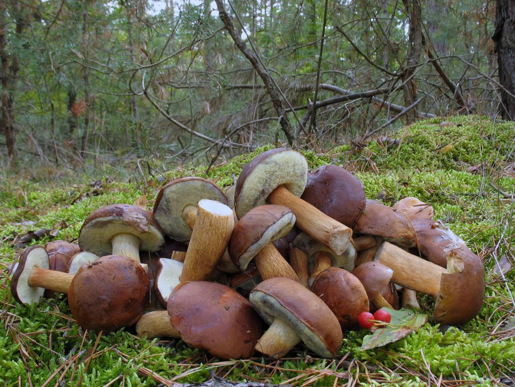 Польский гриб (Boletus badius). Автор фото: Валерий Афанасьев