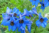 c:синие,b:прямостоячий,l:очередные,d:в светлых лесах,d:на опушках и полянах