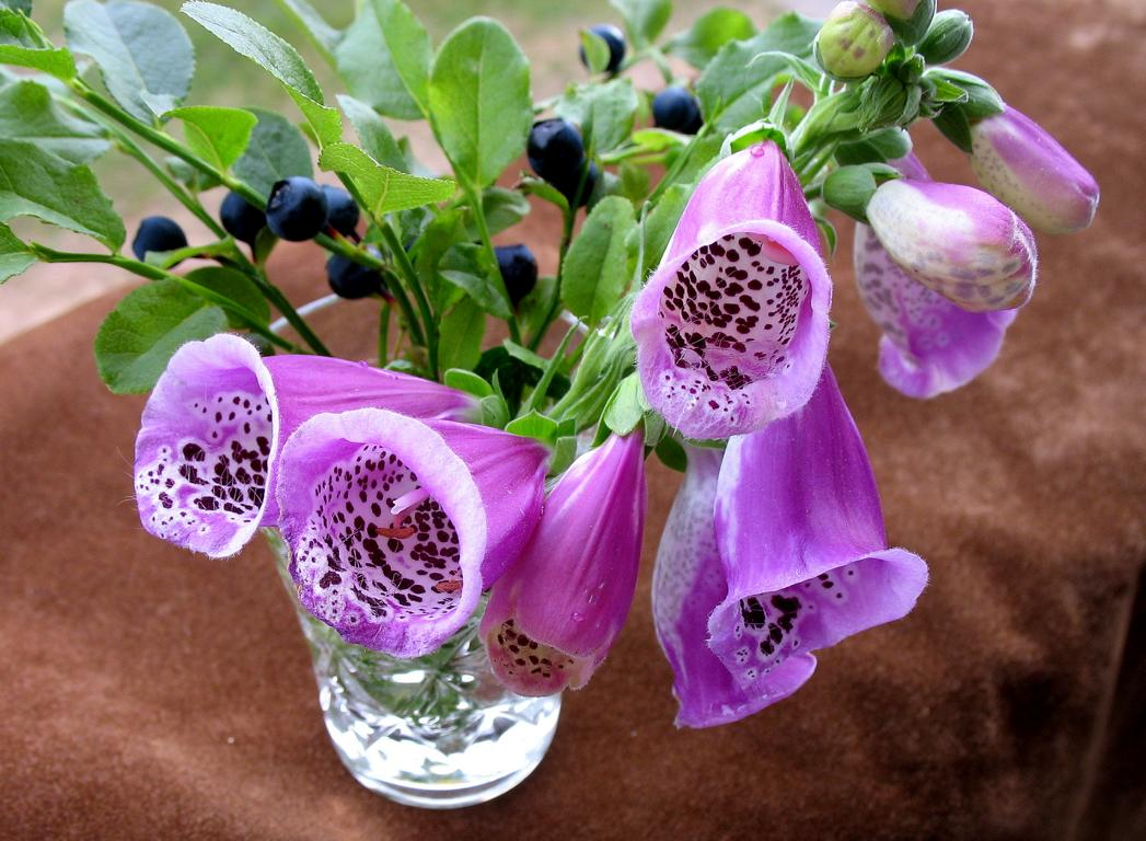 Наперстянка пурпурная - Digitalis purpurea. Автор фото:Валерий Афанасьев