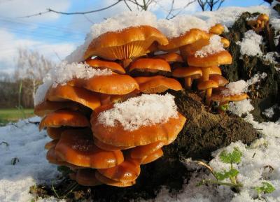 Опёнок зимний (Flammulina velutipes) Автор фото: Валерий Афанасьев