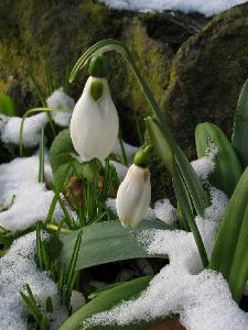 Конец января, выпал небольшой снежок и Галянтусы этому рады. Автор фото: Валерий Афанасьев