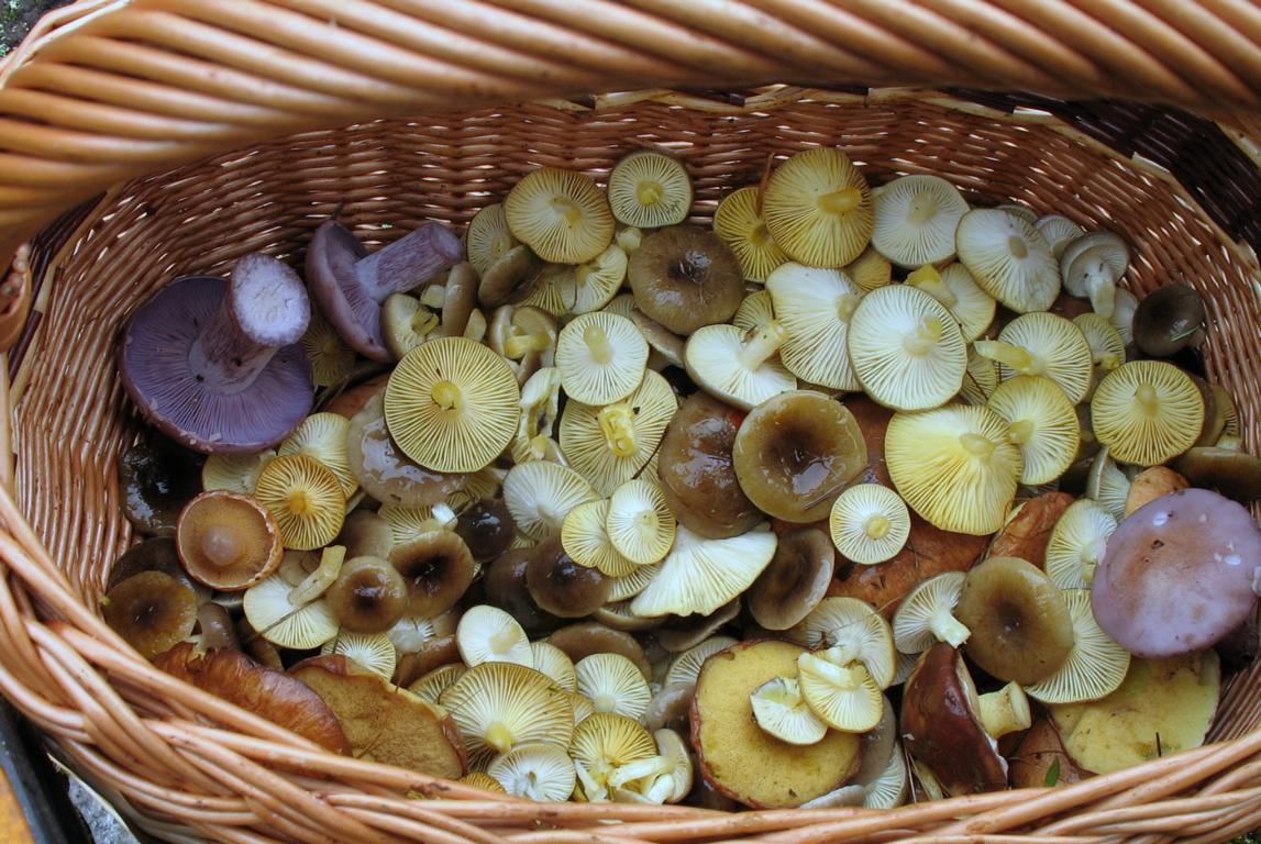 Корзина с грибами Hygrophorus hypothejus. Автор фото: Валерий Афанасьев