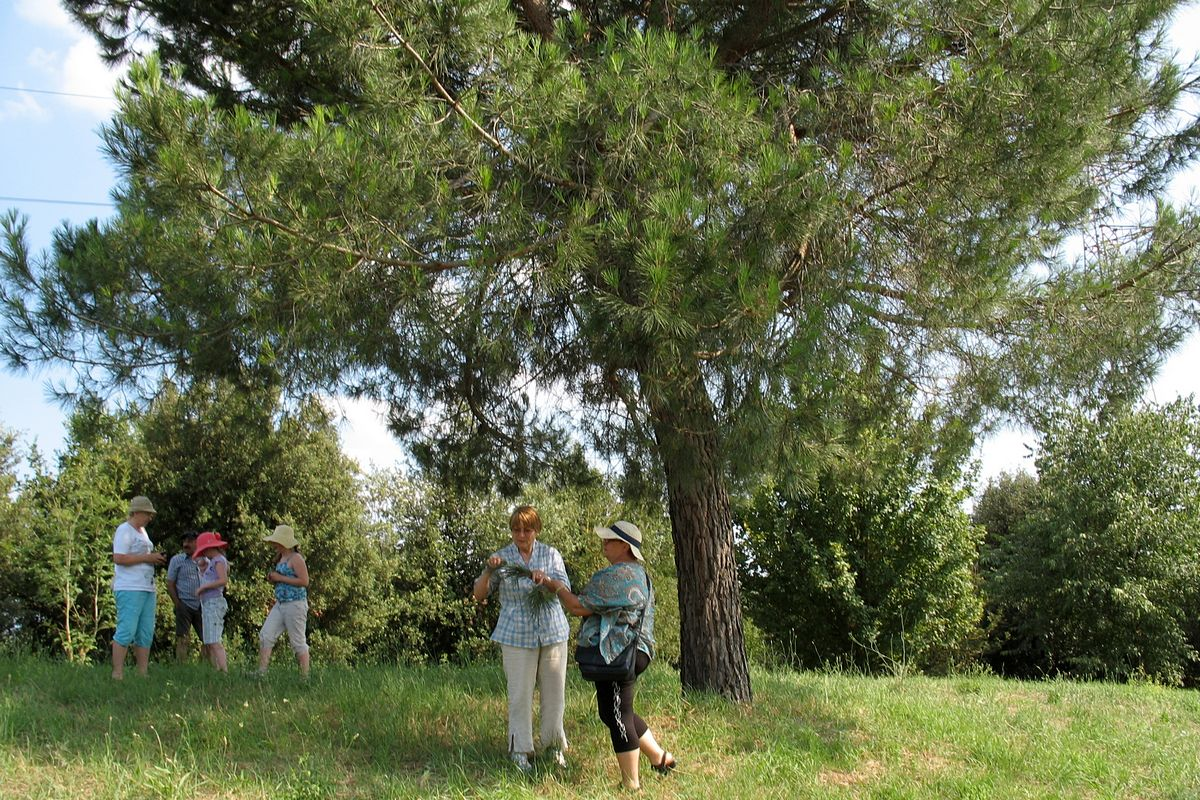 Итальянская сосна - ПИНИЯ (Pinus pinea). Автор фото: Валерий Афанасьев