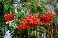 s:листопадные кустарники,ягоды красные,ягоды съедобные,i:съедобные