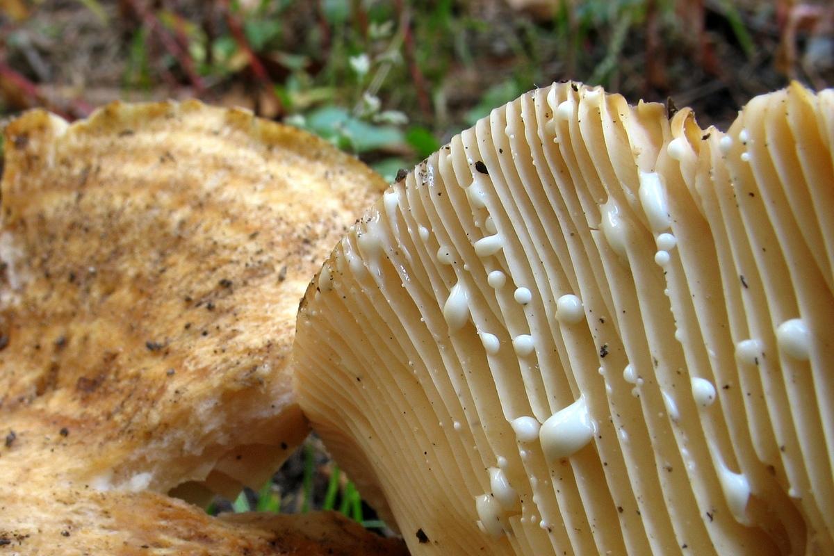 Lactarius zonarius, Груздь зональный. Автор фото: Валерий Афанасьев