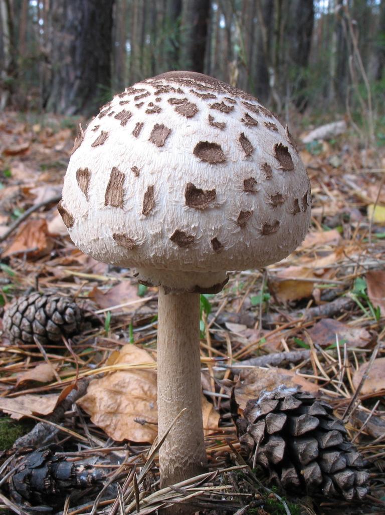 Гриб-зонтик пёстрый (Macrolepiota procera). Автор фото: Валерий Афанасьев