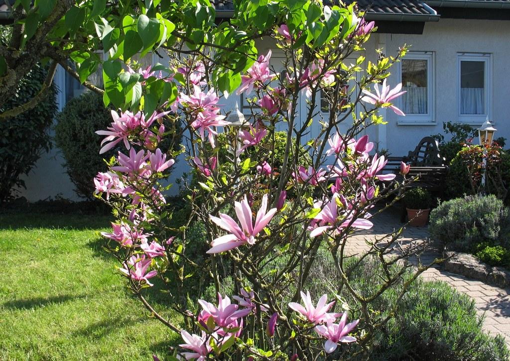 Магнолия (Magnolia). Автор фото: Валерий Афанасьев