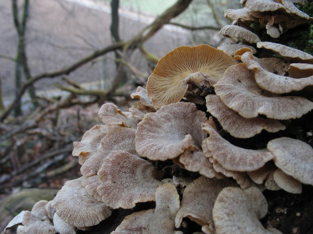 Панеллюс -  Panellus stipticus. Автор фото:Валерий Афанасьев
