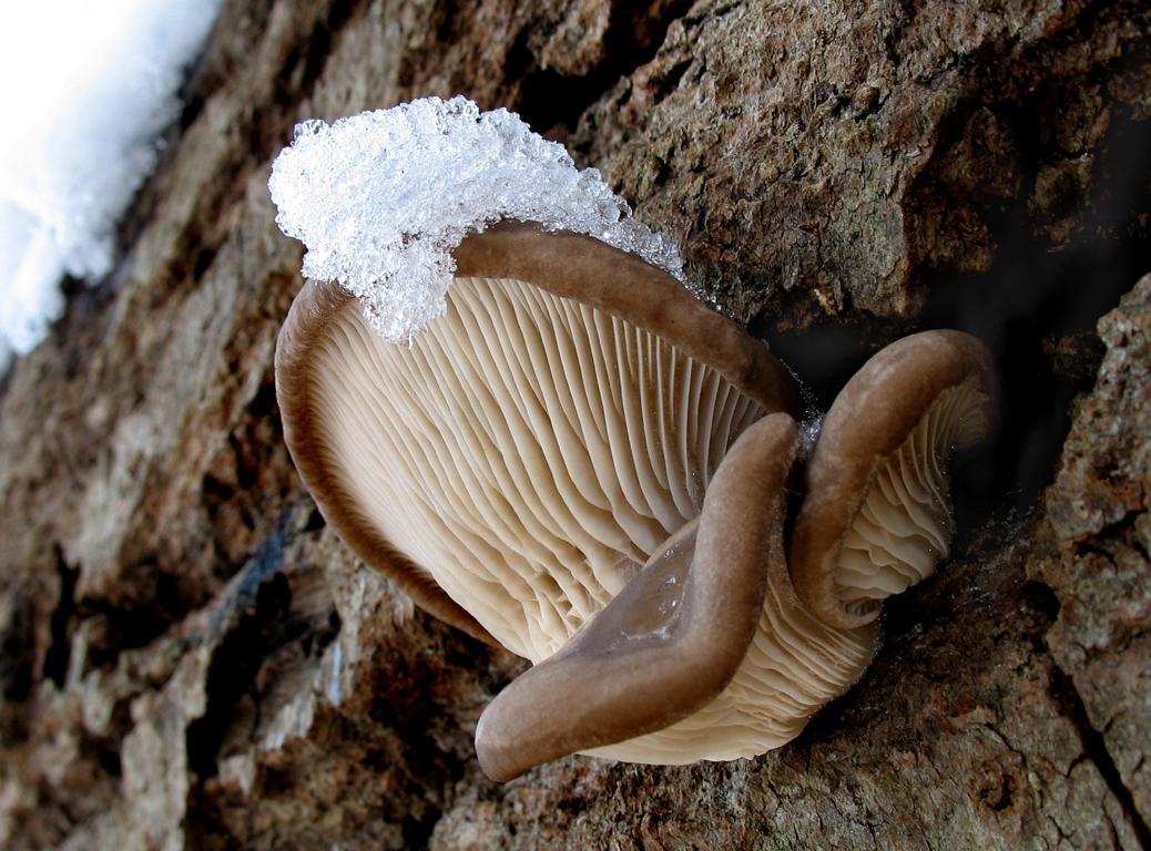 Вешенка обыкновенная/устричная - Pleurotus ostreatus. Автор фото: Валерий Афанасьев
