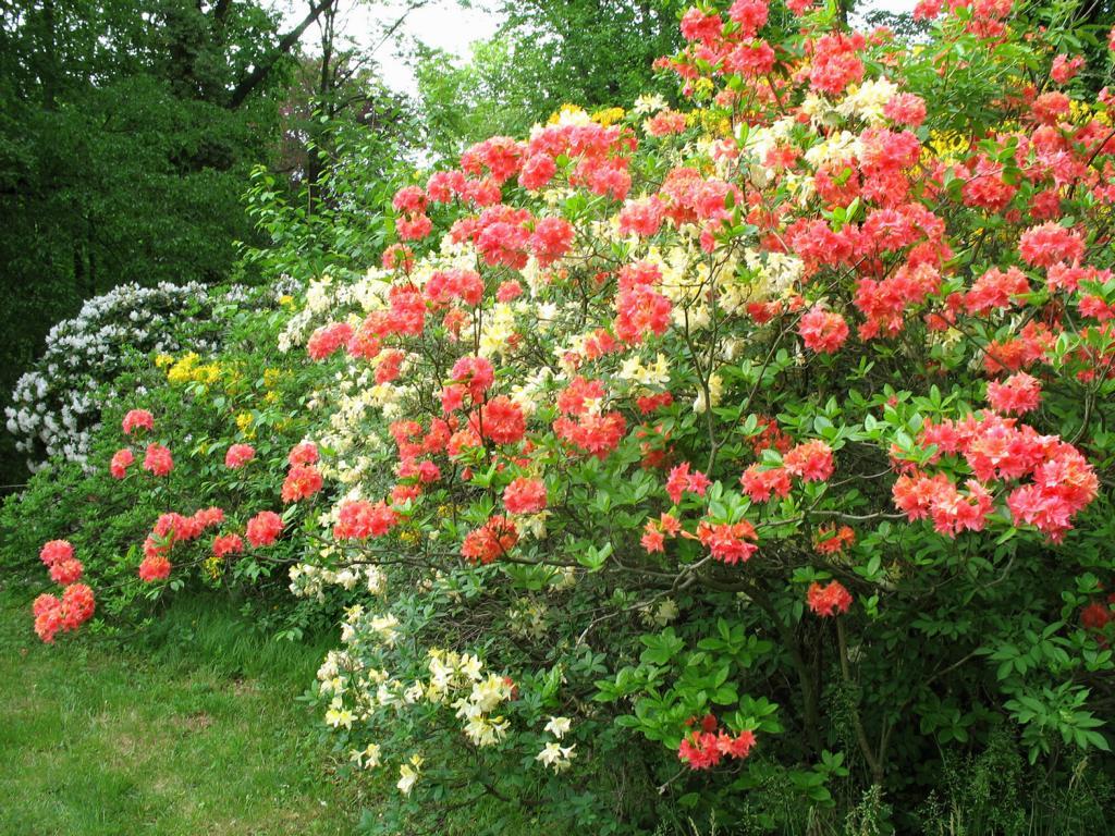 Родoдендрон, цветы. Автор фото: Валерий Афанасьев