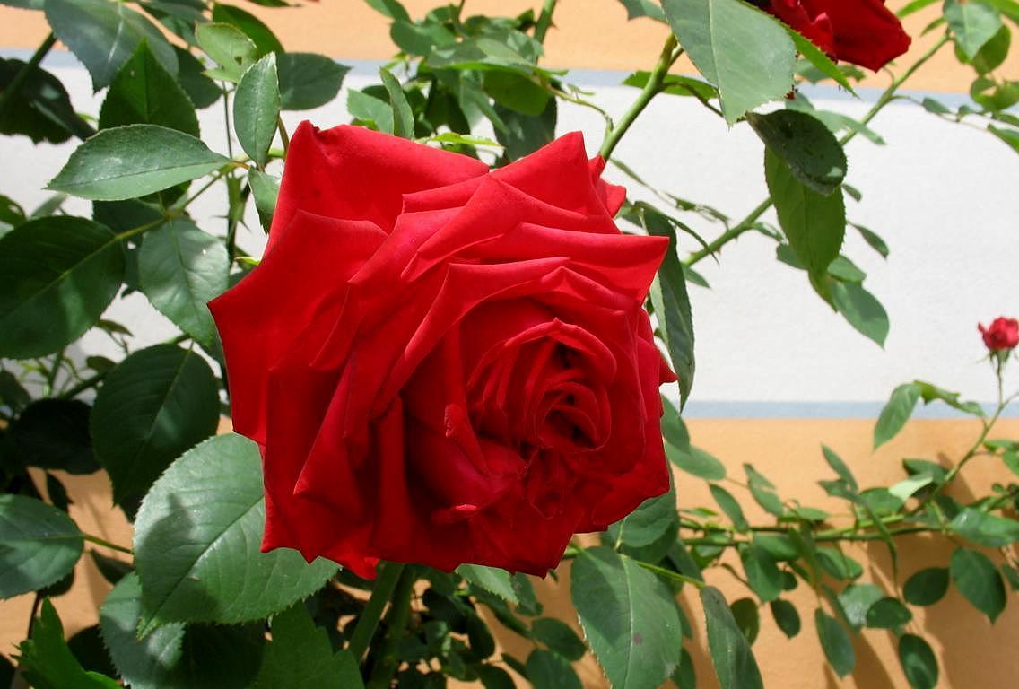 Красная роза. Автор фото: Валерий Афанасьев