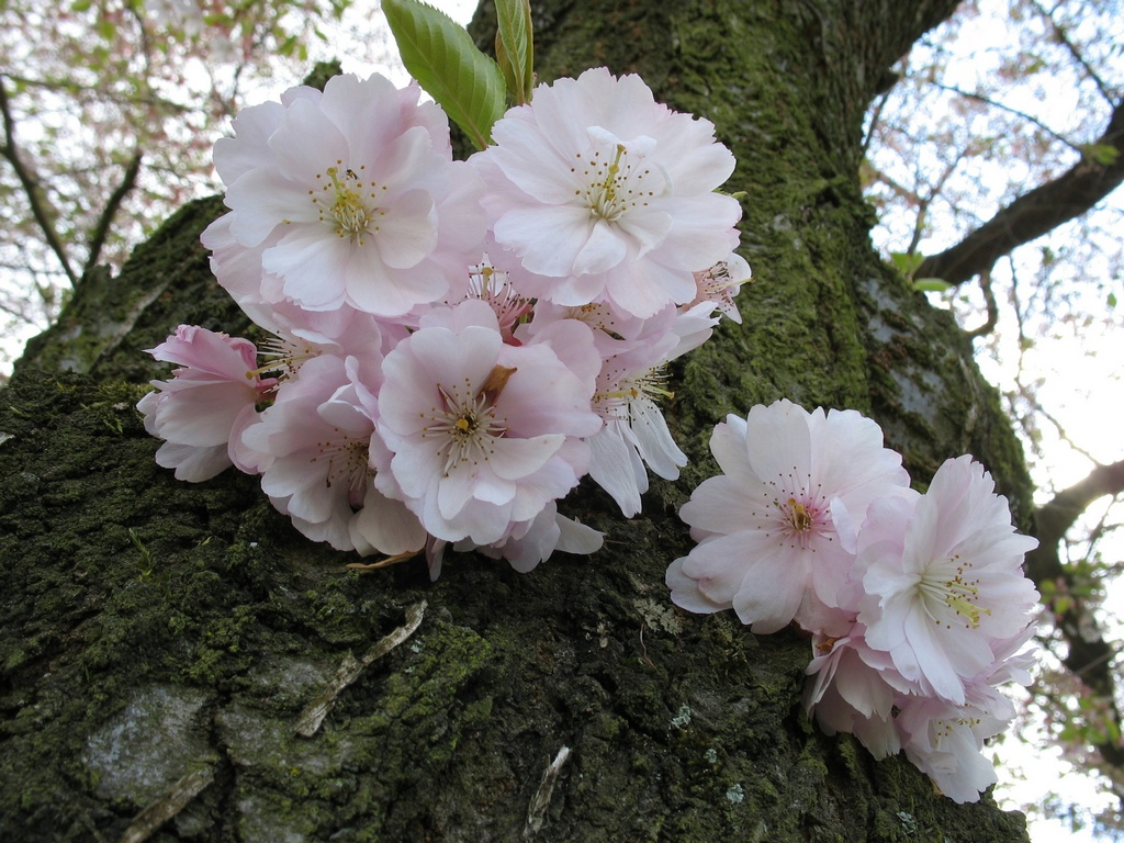 Японская вишня, Сакура (Prunus serrulata). Автор фото: Валерий Афанасьев