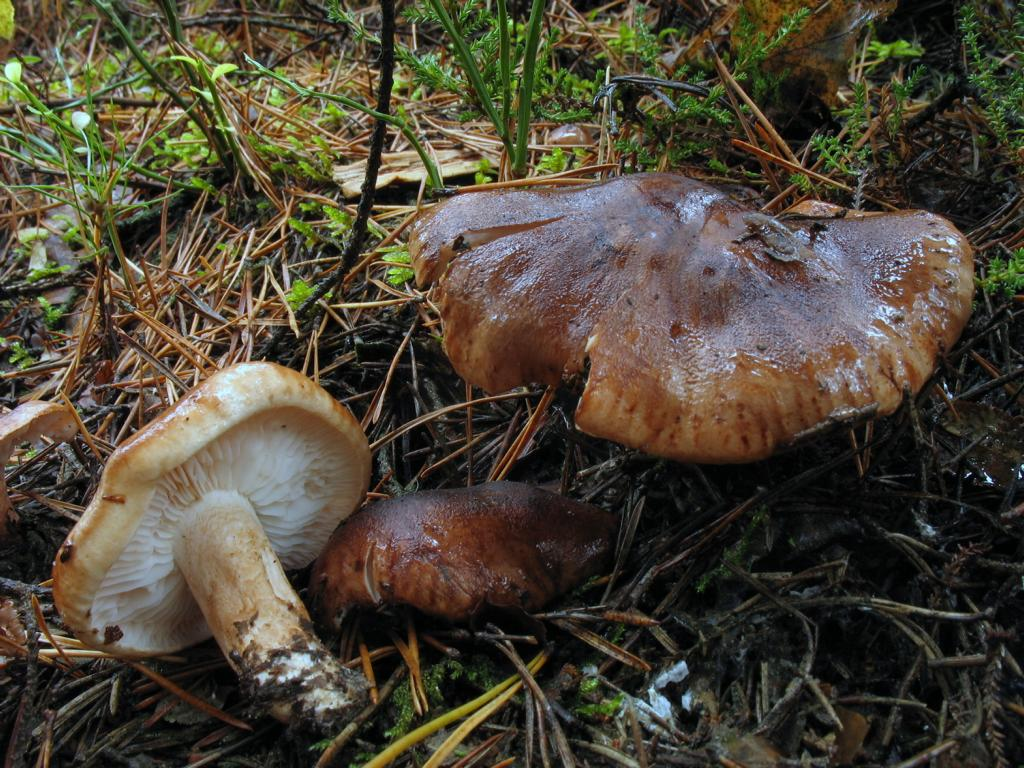 Рядовка пятнистая, Tricholoma pessundatum. Автор фото: Валерий Афанасьев