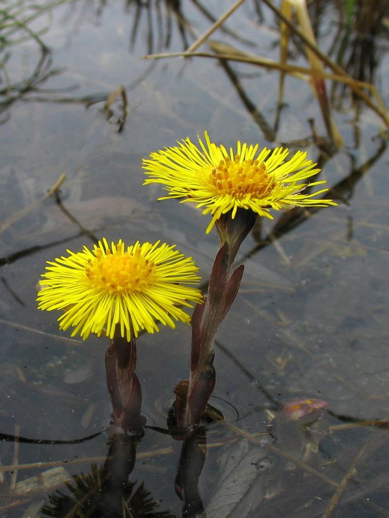 Цветы Мать-и-мачеха. Автор фото: Валерий Афанасьев