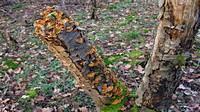 Стереум бархатисто-коричневый (Stereum ostrea)
