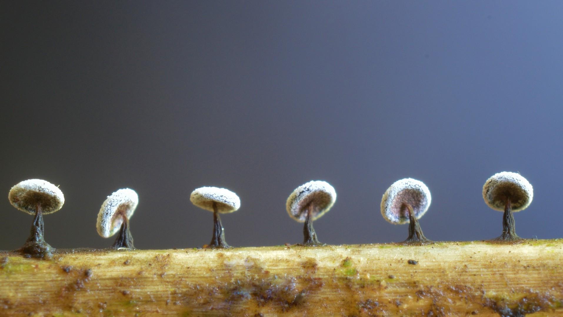 Didymium clavus Автор фото: Ботяков Владимир