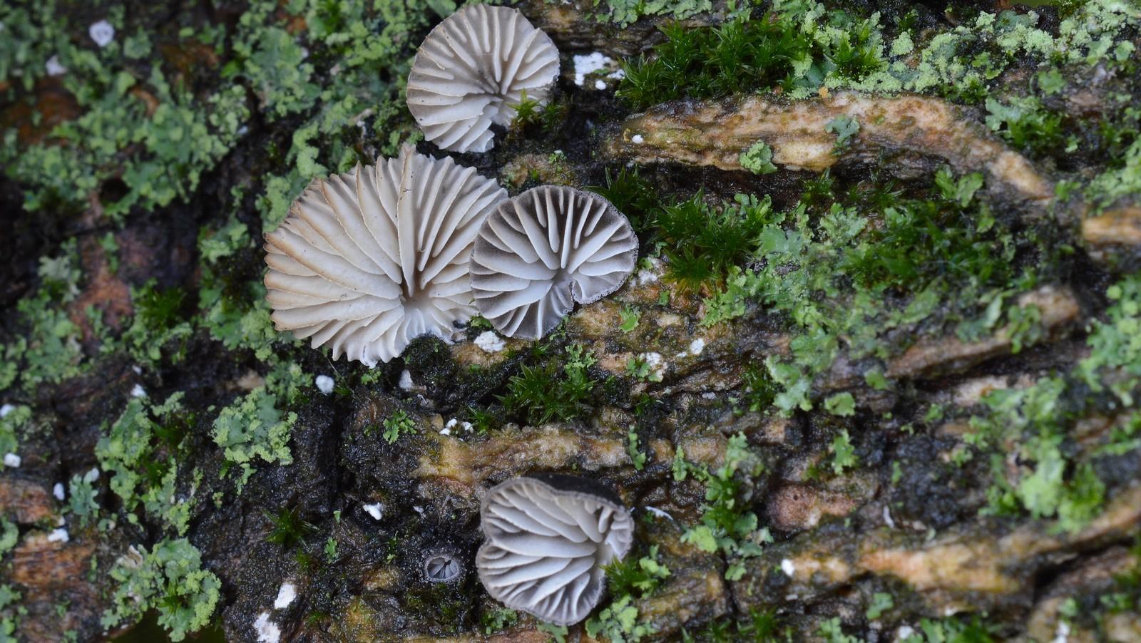Hohenbuehelia cyphelliformis. Автор фото: Ботяков Владимир