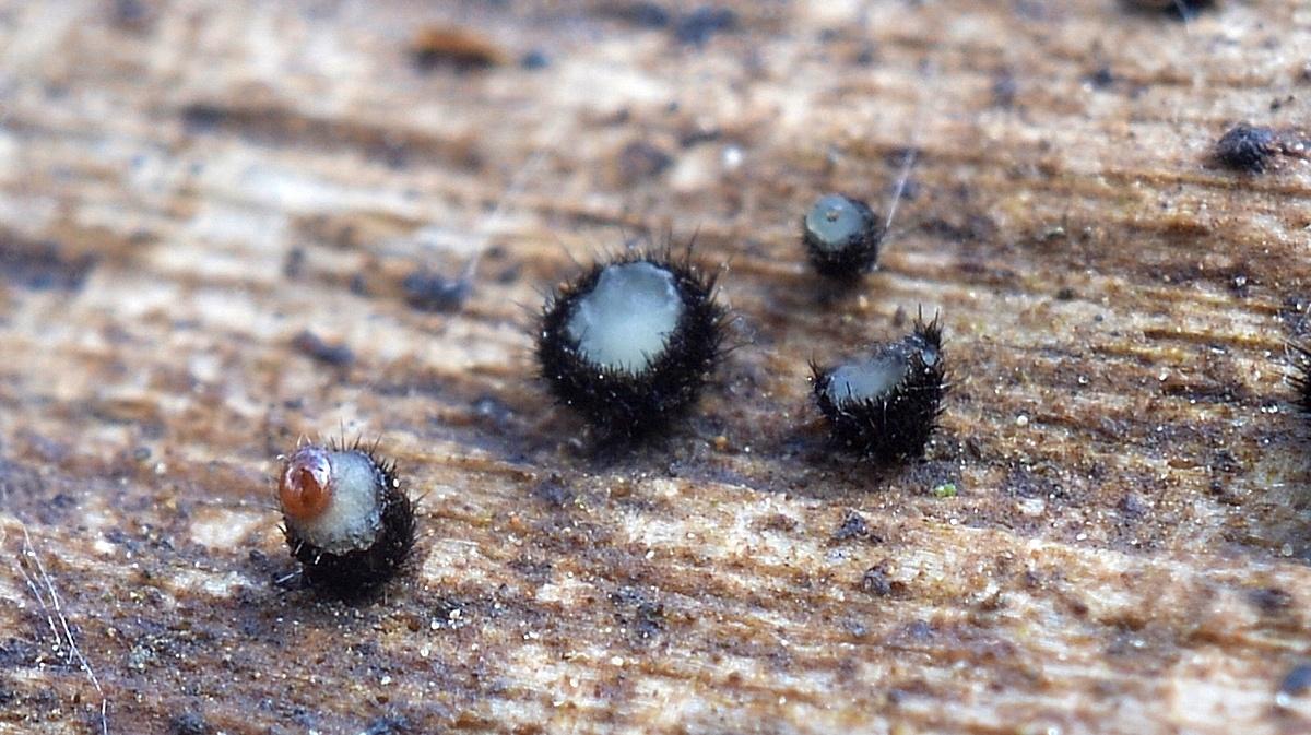 Pseudolachnea hispidula. Автор фото: Ботяков Владимир