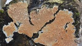 Стекхеринум крепкий (Steccherinum robustius)Гриб идентифицирован по макро- и микропризнакам.Микроскопия: И.Винер, научный сотрудник кафедры альгологии и микологии МГУ