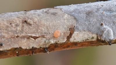 Небольшой малозаметный грибок паразитирующий на кортициоидных грибах, чаще всего Пениофорах. Невооруженным взглядом виден в виде крохотных розовато-оранжевых точек. Автор фото: Ботяков Владимир