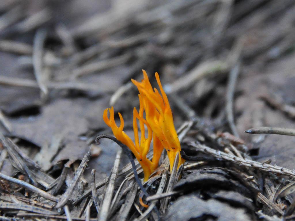 Калоцера клейкая (Calocera viscosa). Автор фото: Владимир Брюхов