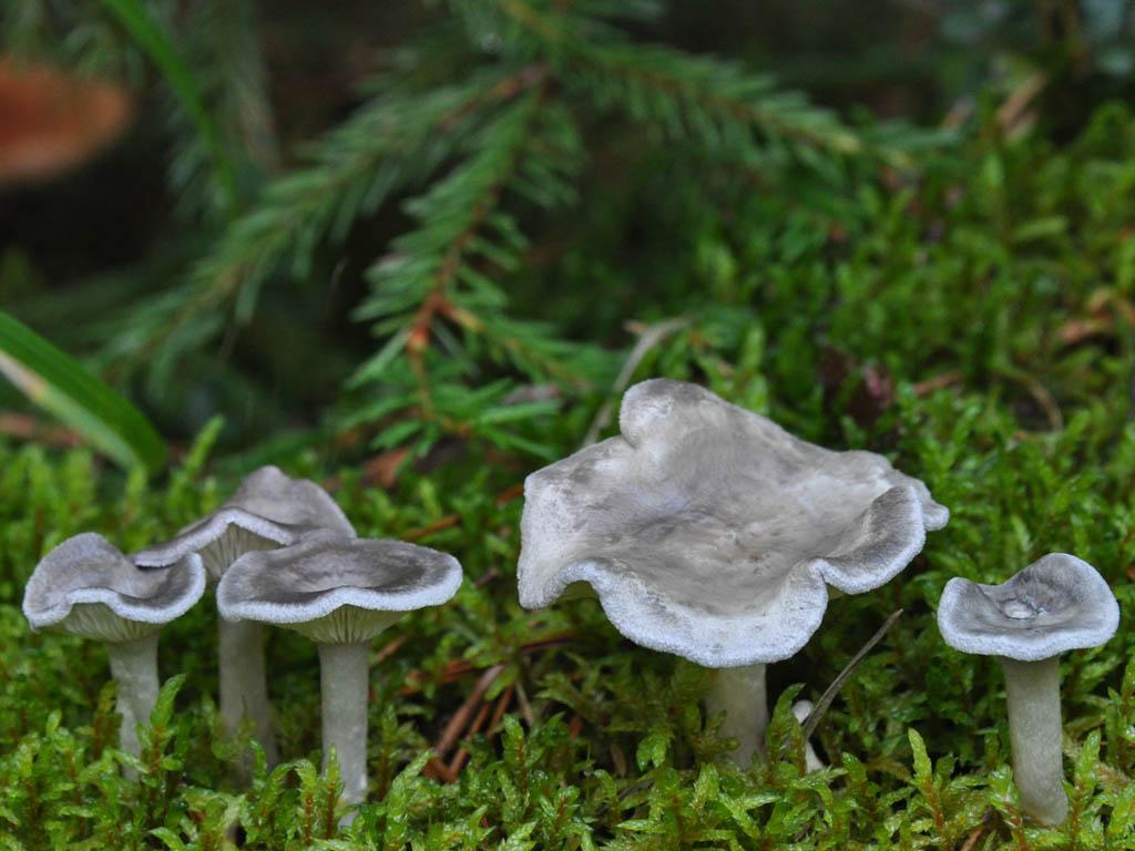 Cantharellula umbonata. Автор фото: Владимир Брюхов
