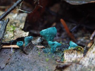 Хлороцибория сине-зелёная - Chlorociboria aeruginosa Автор фото: Владимир Брюхов