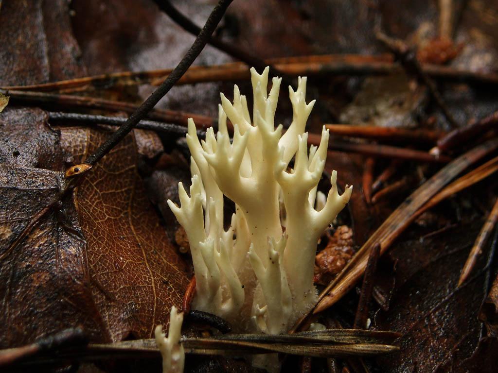 Клавулина коралловидная (Clavulina coralloides). Автор фото: Владимир Брюхов