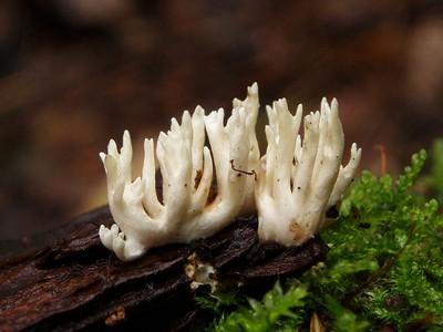 Клавулина коралловидная - Clavulina coralloides  Автор фото: Владимир Брюхов