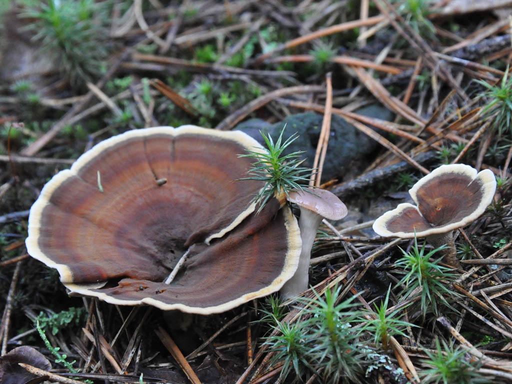 Сухлянка двухлетняя (Coltricia perennis). Автор фото: Владимир Брюхов
