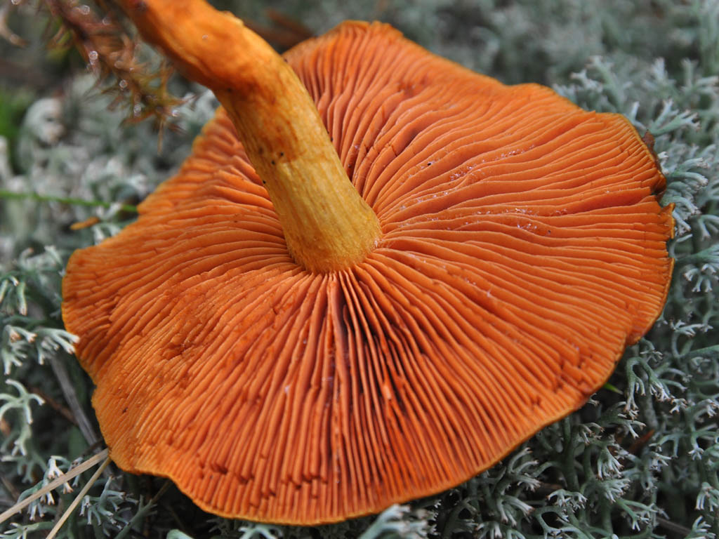 Паутинник шафрановый (Cortinarius croceus). Автор фото: Владимир Брюхов