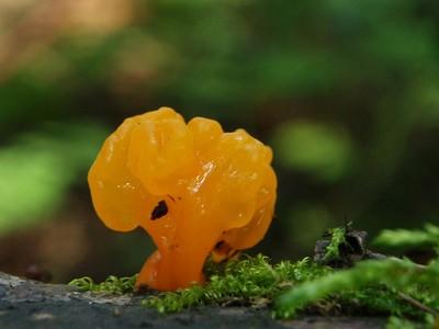 Дакримицес золотистоспоровый - Dacrymyces chrysospermus Автор фото: Владимир Брюхов