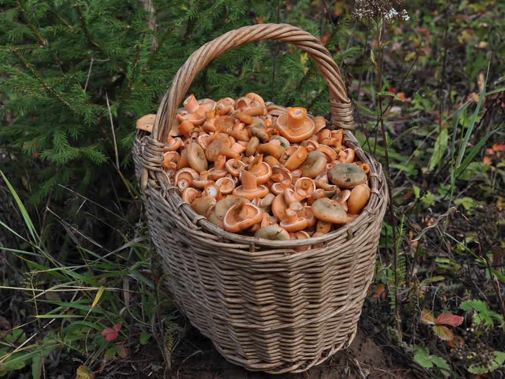 Lactarius deliciosus. Автор фото: Владимир Брюхов