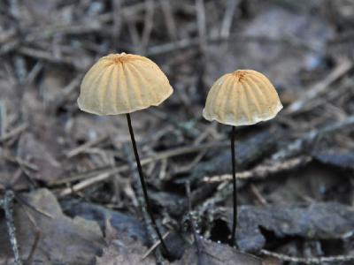 Маразмиус сухой - Marasmius siccus Автор фото: Владимир Брюхов