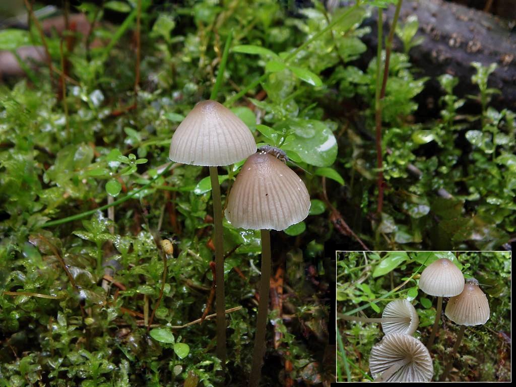 Mycena filopes. Автор фото: Владимир Брюхов