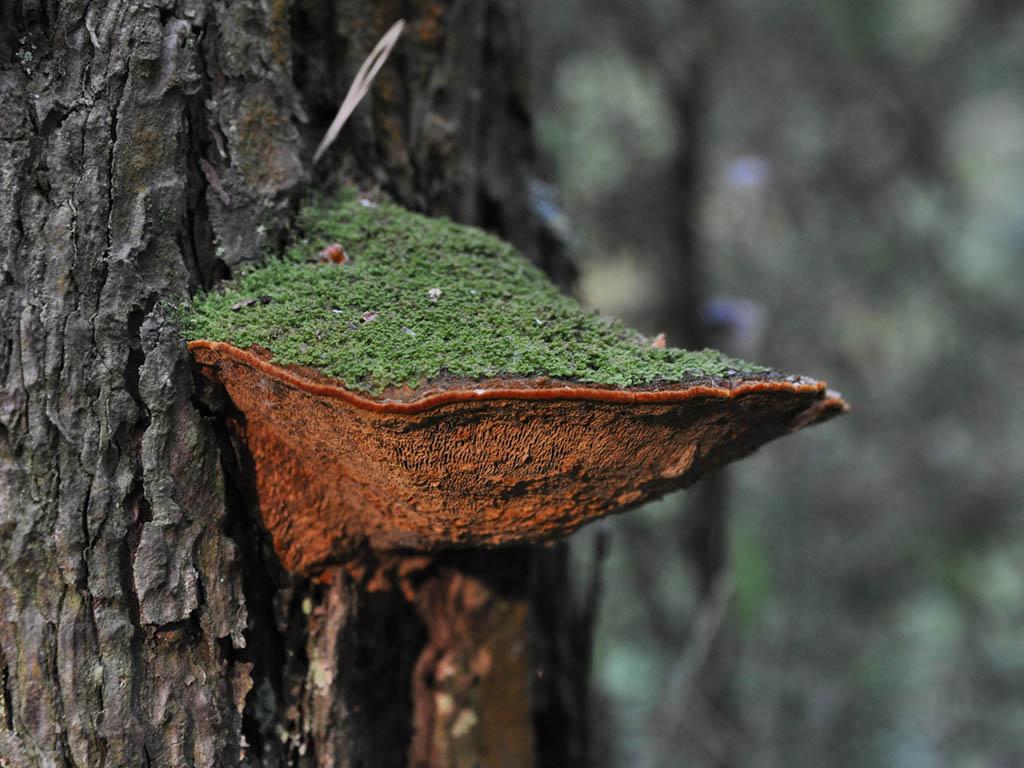 Phellinus pini. Автор фото: Владимир Брюхов
