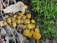 Опенок настоящий (Armillaria mellea)