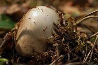 Мухомор порфировый (Amanita porphyria)