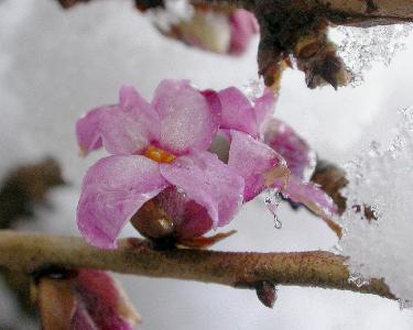 Daphne mezereum - Волчеягодник обыкновенный Автор фото: Antonio De Vito