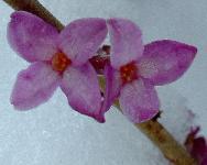 Волчеягодник обыкновенный (Daphne mezereum)Daphne mezereum - Волчеягодник обыкновенный